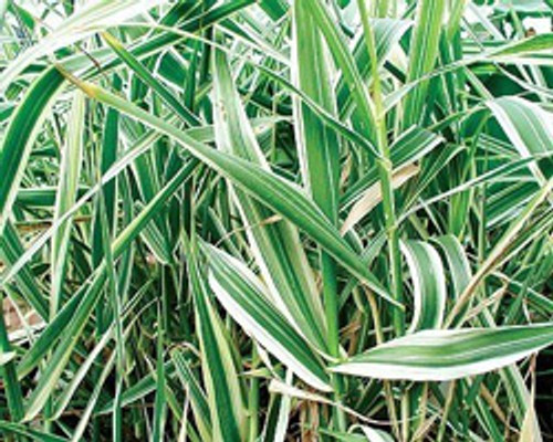 Variegated Giant Reed