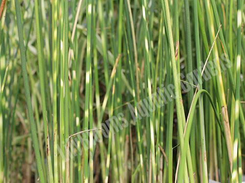 Zebra Rush- Hardy Bog Plant