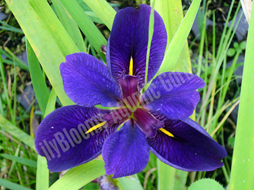 Black Gamecock- Purple Louisiana Iris