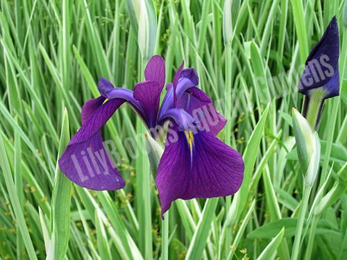 Japanese Variegated Iris- Hardy Bog Plant