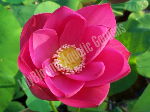 Capiscum (Russian Red)- Hardy Water Lotus