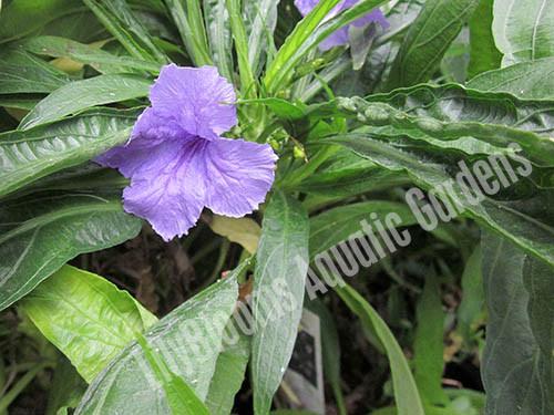 Blue Bells- Tropical Bog Plants