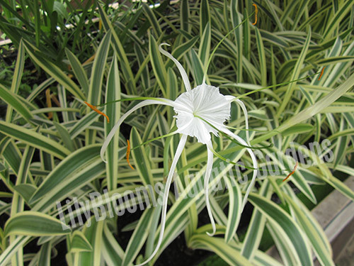 Variegated Spider Lily- Tropical Bog Plant