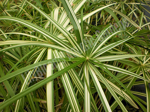 Variegated Umbrella Palm- Tropical Bog Plant