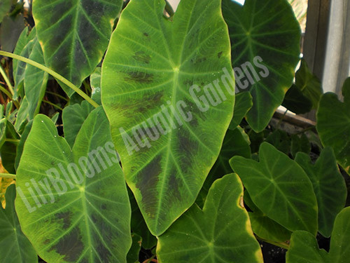 Imperial Taro- Tropical Imperial Taro