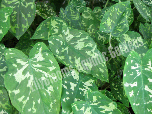 Variegated Taro- Tropical Bog Plant
