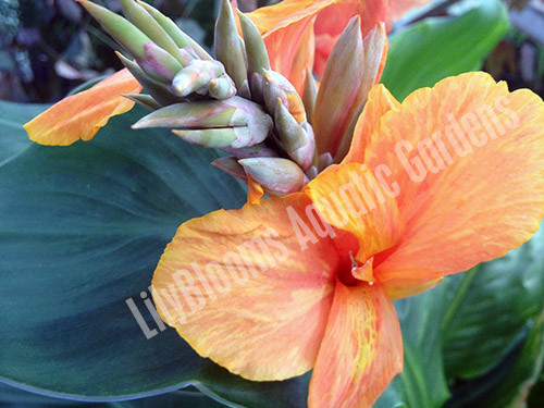 Orange Canna (Orange King Humbert)- Tropical Bog Plant