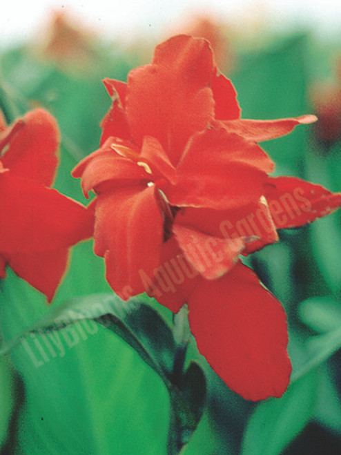 Red Dwarf Canna (Firebird)- Tropical Bog Plant