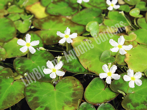 White Snowflake- Tropical Bog Plant