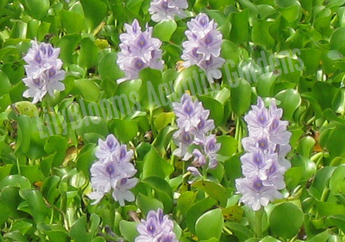 Jumbo Water Hyacinth- Floating Plant