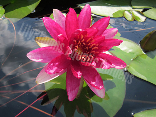 Red Paradise- Red Hardy Water Lily