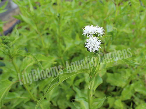 Water Snowball- Tropical Bog Plant