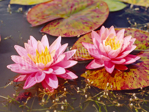 Nymphaea Perrys Orange Sunset Hardy Orange Water Lily