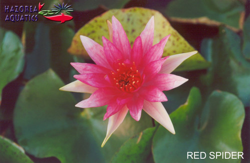 Red Spider - Red Hardy Water Lily