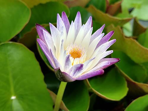 Nymphaea Purple Joy