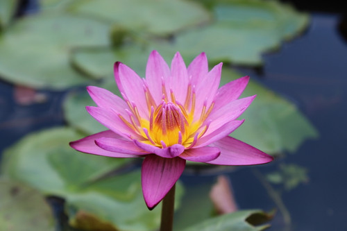 Nymphaea 'Maroon Pink' Red/Pink Tropical Water Lily