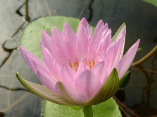 Morning Mist - Pink Tropical Water Lily