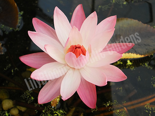 Pink Night Blooming Lily- Tropical Water Lily