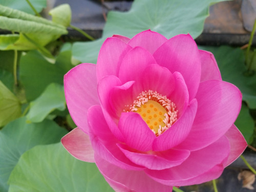 Red Giant - Red Hardy Water Lotus