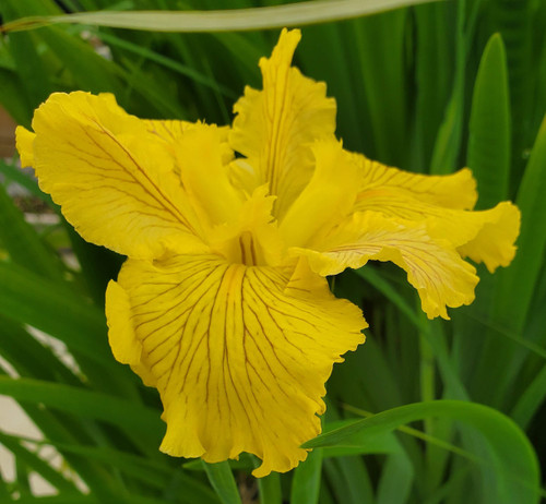 Fortune Finder - Yellow Louisiana Iris (Iris 'Fortune Finder')