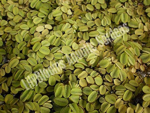 Salvinia- Floating Plant