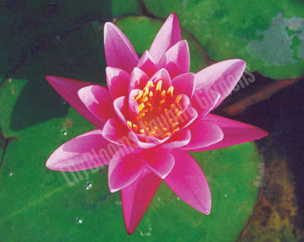 Yuh Ling- Pink Hardy Water Lily