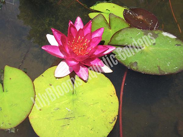 Laydekeri Fulgens- Red Hardy Water Lily