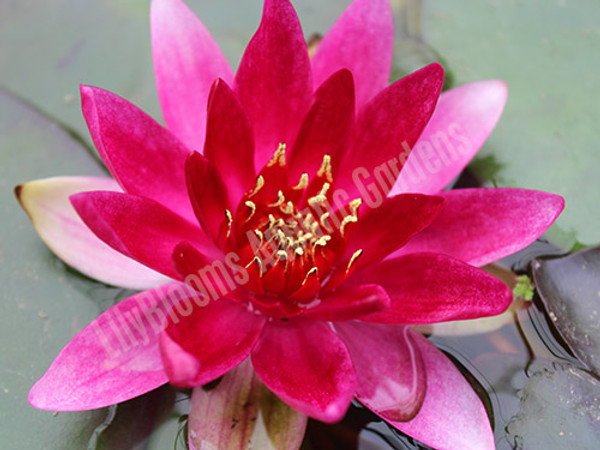Perry's Red Glow- Red Hardy Water Lily