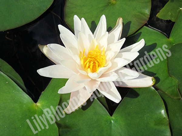 Walter Pagels- White Hardy Water Lily