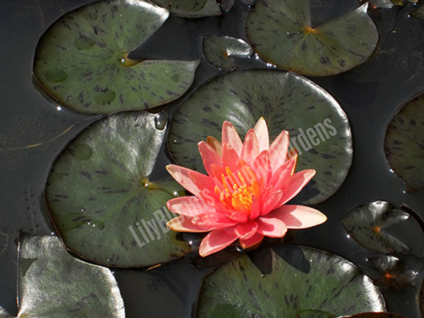 Little Sue- Changeable Hardy Water Lily
