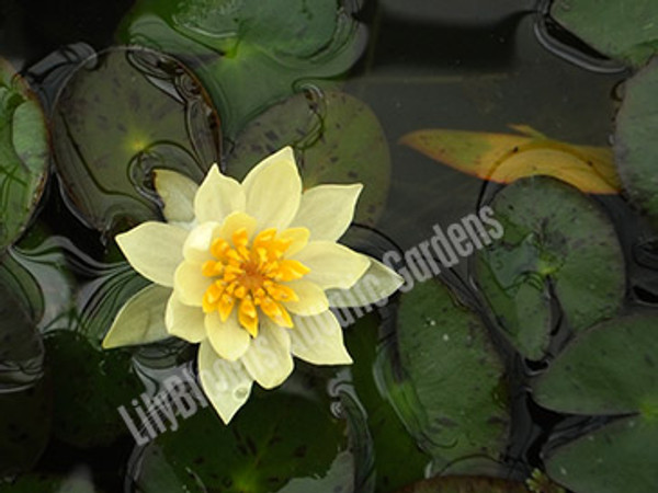 Helvola- Yellow Hardy Water Lily