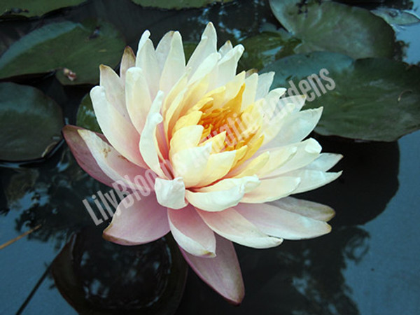 Mangkala Ubol- Peach/Orange Hardy Water Lily