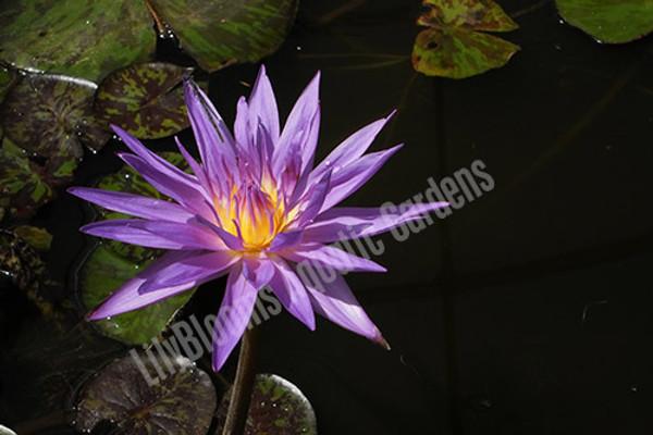 Star of Zanzibar- Blue Tropical Water Lily