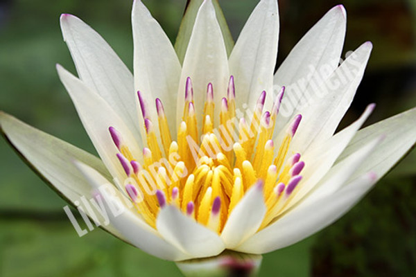 Crystal- White Tropical Water Lily