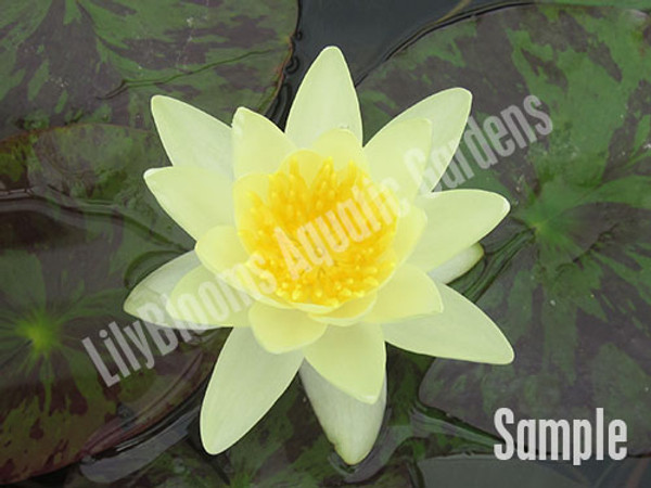Unsorted Yellow Hardy Water Lily