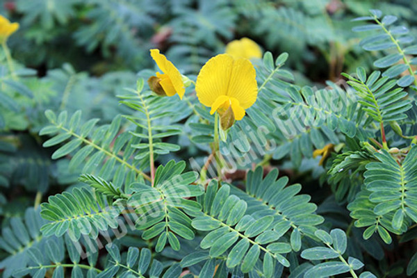 Giant Sensitive Plant- Floating Plant