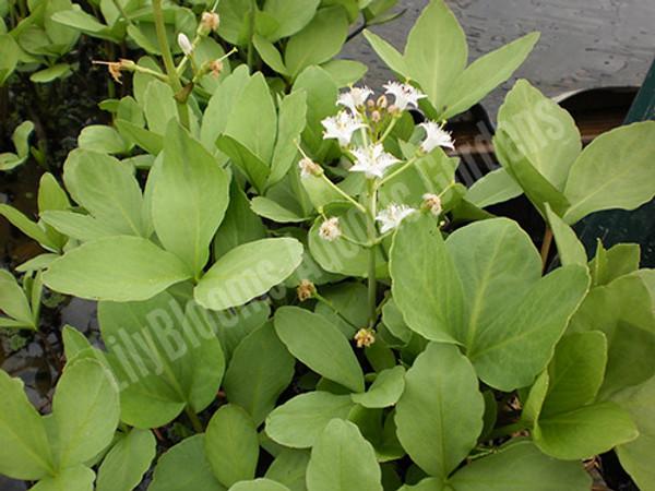 Hardy Bog Plant