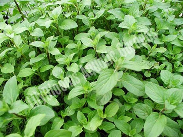 Aquatic Mint- Hardy Bog Plant