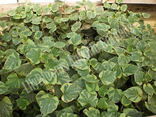 Chameleon Plant- Hardy Bog Plant