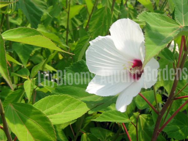 Water Hibiscus- Flowering Hardy Bog Plant