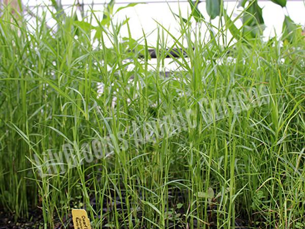 Dwarf Bamboo- Hardy Bog Plant