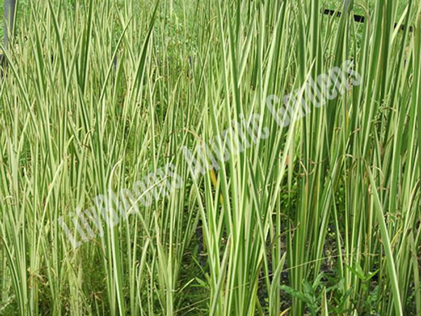 Variegated Sweet Flag- Hardy Bog Plant