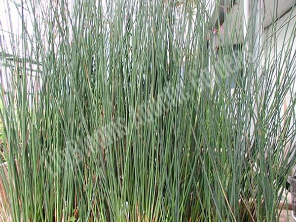 Blue Rush- Hardy Bog Plant