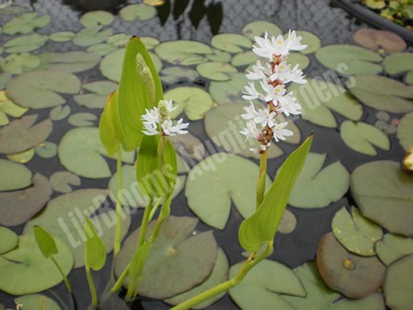 White Pickeral- Hardy Bog Plant
