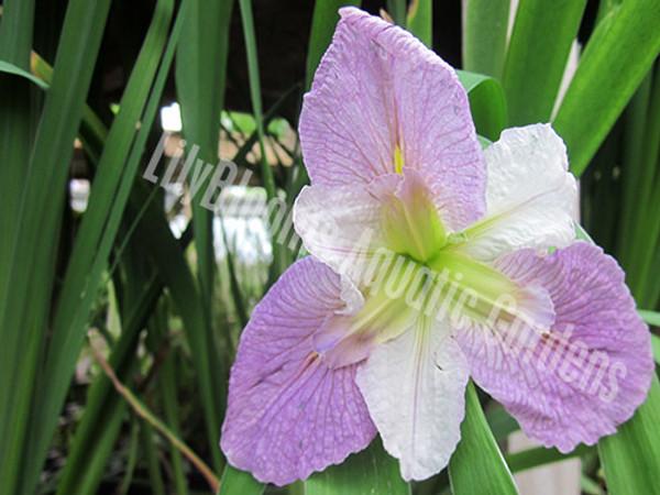 Colorific (Bi-Color Louisiana Iris)- Hardy Bog Plant