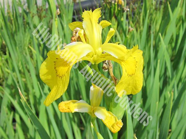 Dixie Deb- Yellow Louisiana Iris