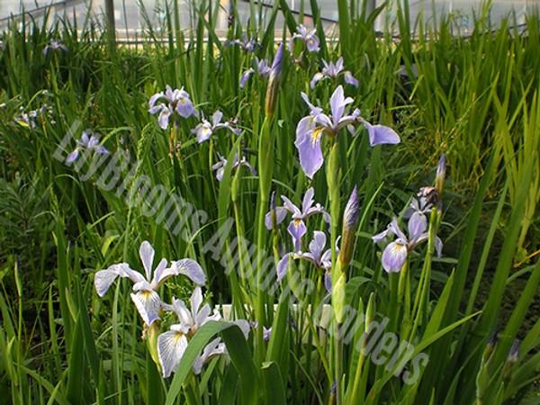Little Blue Rock Skies- Wisteria Blue Louisiana Iris