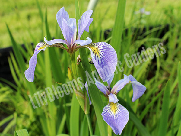 Blue Flag Iris- Hardy Bog Plant