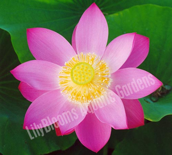 First Lady- Pink Hardy Water Lotus