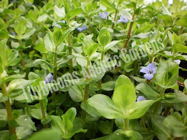 Lemon Bacopa- Tropical Bog Plant